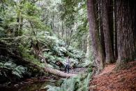Californian Redwood Forrest I Am Where Stories Unfold Otways Great Ocean Road2